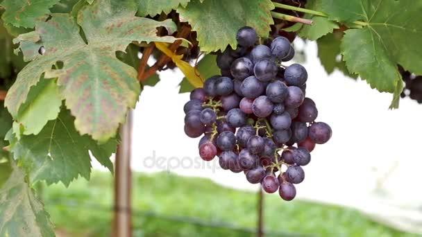 Érett szőlőt termett szőlőben kész betakarításra
