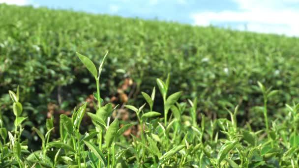 Growing tea plantation close up on mountain at Chiang Rai of Thailand.