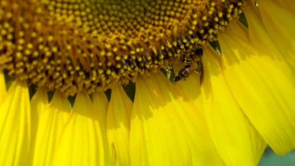 Close up of Bee pollinating on the sunflower in summer