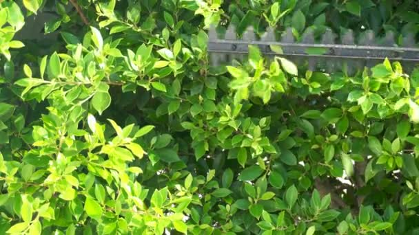 Die dekorativen Zweige im heimischen Garten mit der Astschere abschneiden.