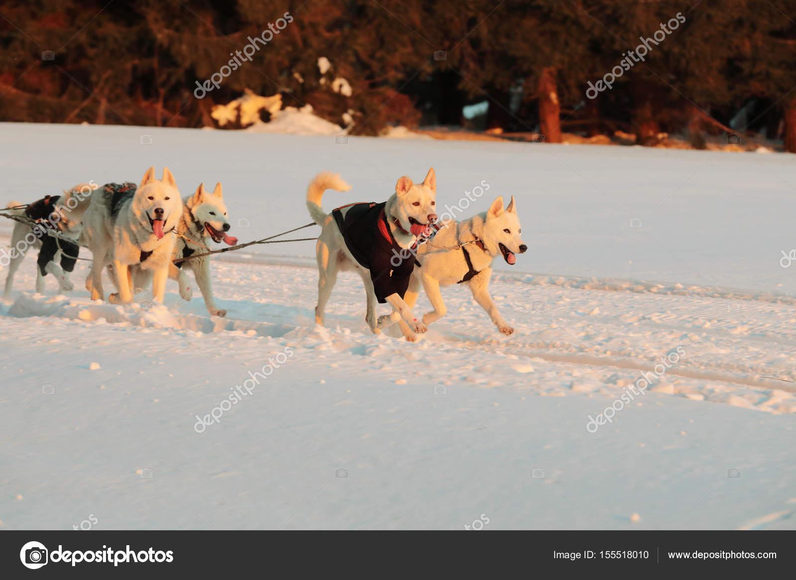 Sfondi cani da slitta