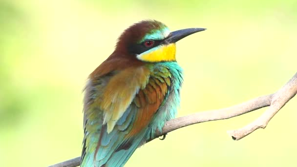 Evropský pojídač včel, Merops apiaster. Krásný barevný pták
