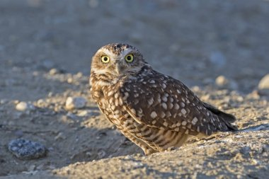 Bird burrowing owl at Los Angeles field