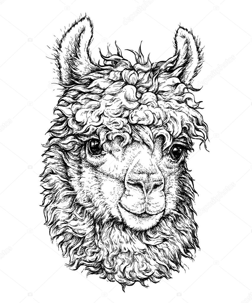lama hipster style drawing isolated white object