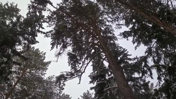 Sibiřský borový les v zimě pod sněhem bez větru.