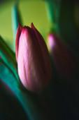 tulipán, virágkompozíció - gyönyörű színek