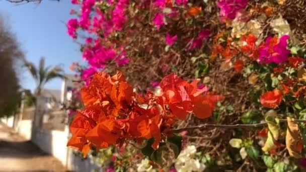 Bush gyönyörű vörös virágokkal. Nyári napsütéses nap Egyiptomban. Sharm El Sheikh-nek.