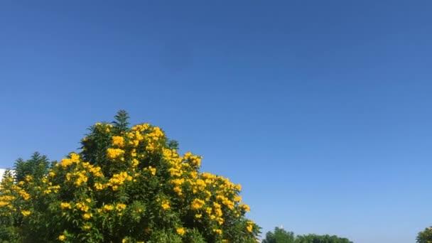 Sárga virágok bozótja a kék ég hátterében Egyiptomban. Sharm El Sheikh-nek.