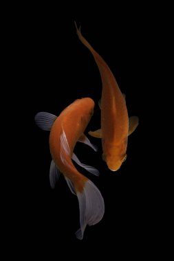 Koi fish is domesticated version of common carp. This fish is most famous by its beautiful colors that have been created via selective breeding