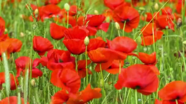 field of blossoming poppies some movement by wind