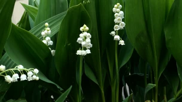 Bushes of blooming lily of the valley or Convallaria majalis sways in wind in garden or park in springtime. Medium plan.