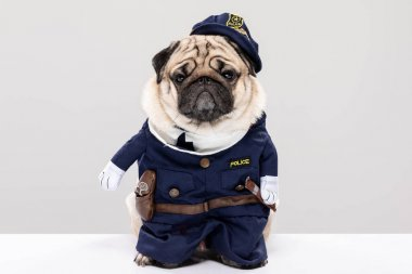 Cute Police dog,Happy Dog pug breed wering police uniform standing on gray background