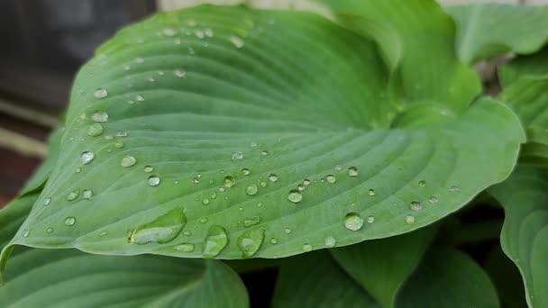 4K. Zelené velké listy květin s kapkami deště se pohybují ve větru. Rozmazané pozadí trávy s makro kapka vody. Nature.