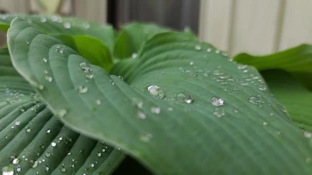 4K. Grüne große Blätter einer Blume mit Regentropfen bewegen sich im Wind. Unscharfer Grashintergrund mit Wassertropfen-Makro. Natur.
