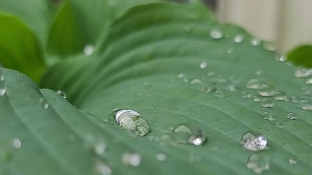 4K. Green large leaves of a flower with raindrops move in the wind. Blurred grass background with water drop macro. Nature.