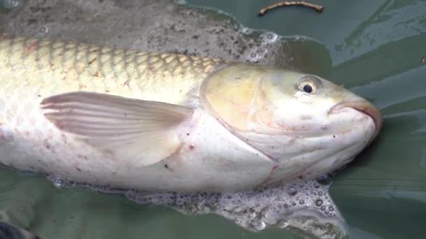 4K. Izgalmas felvétel, egy halász fogott egy halat. Élő közvetítés közelről.