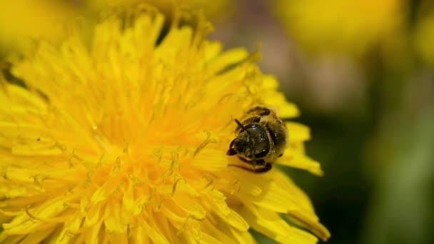 Medový opylovač, sbírá nektar ze žlutého pampeliškového květu, aby přinesl úl a med.