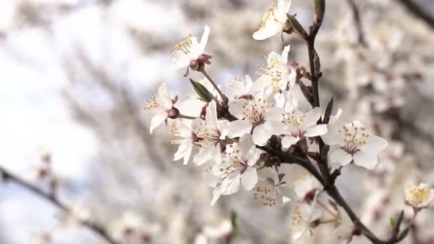 Blooming Apple tree. Apple tree branch in bloom.