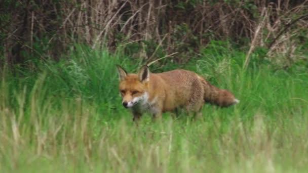 Red fox walking in grassy field