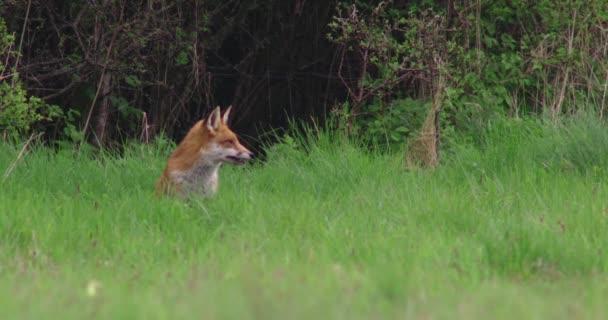 Red fox sitting in grassy field