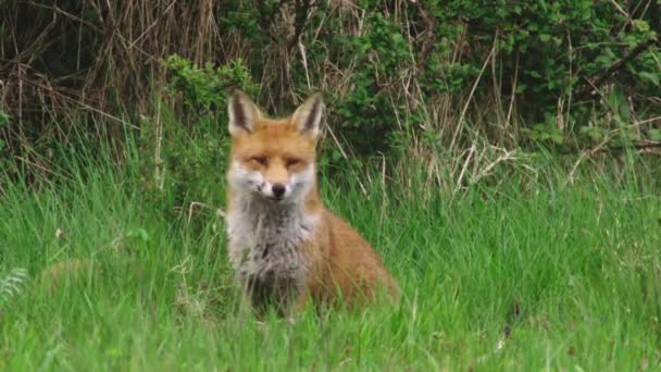 Red fox with puppy in grassy field