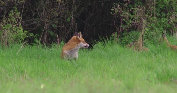 Red foxes in grassy field