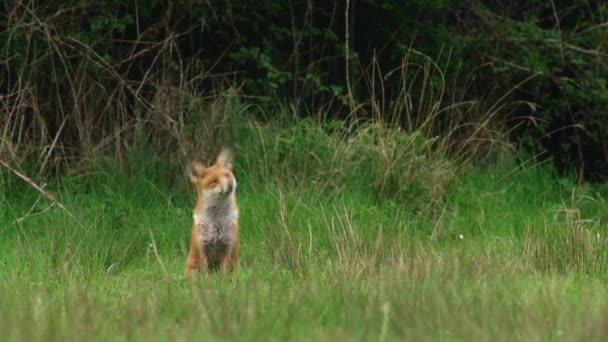 Red fox in grassy field
