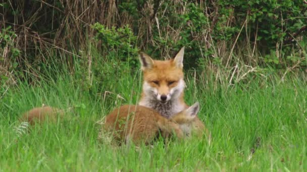 Red fox with puppies in grassy field