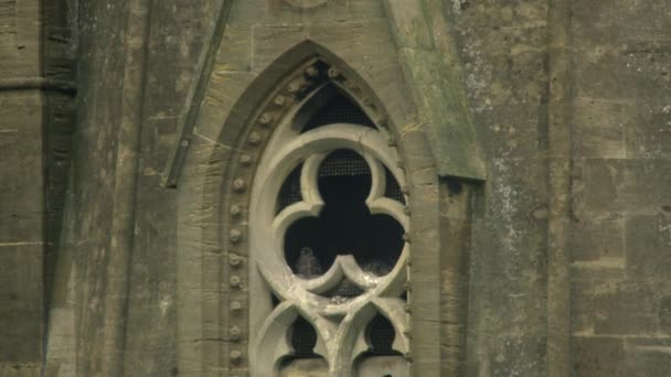 Peregrine falcon perching in gothic tower window