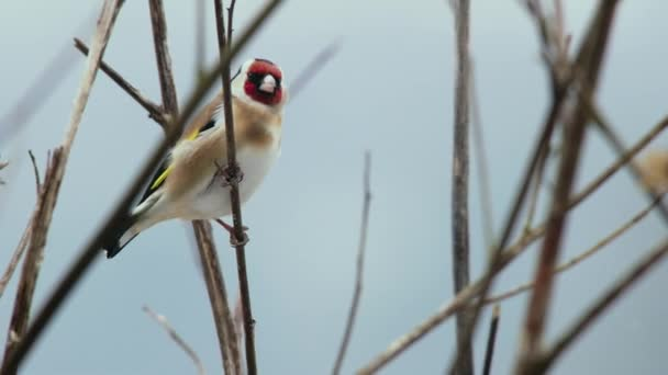 Goldfinch  perching on bare branch in Winter
