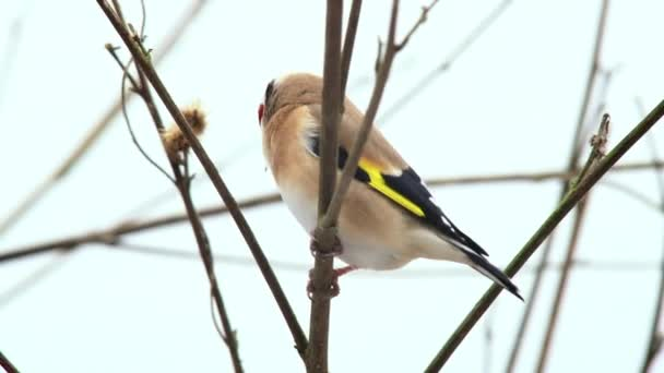 Goldfinch perching on bare branch