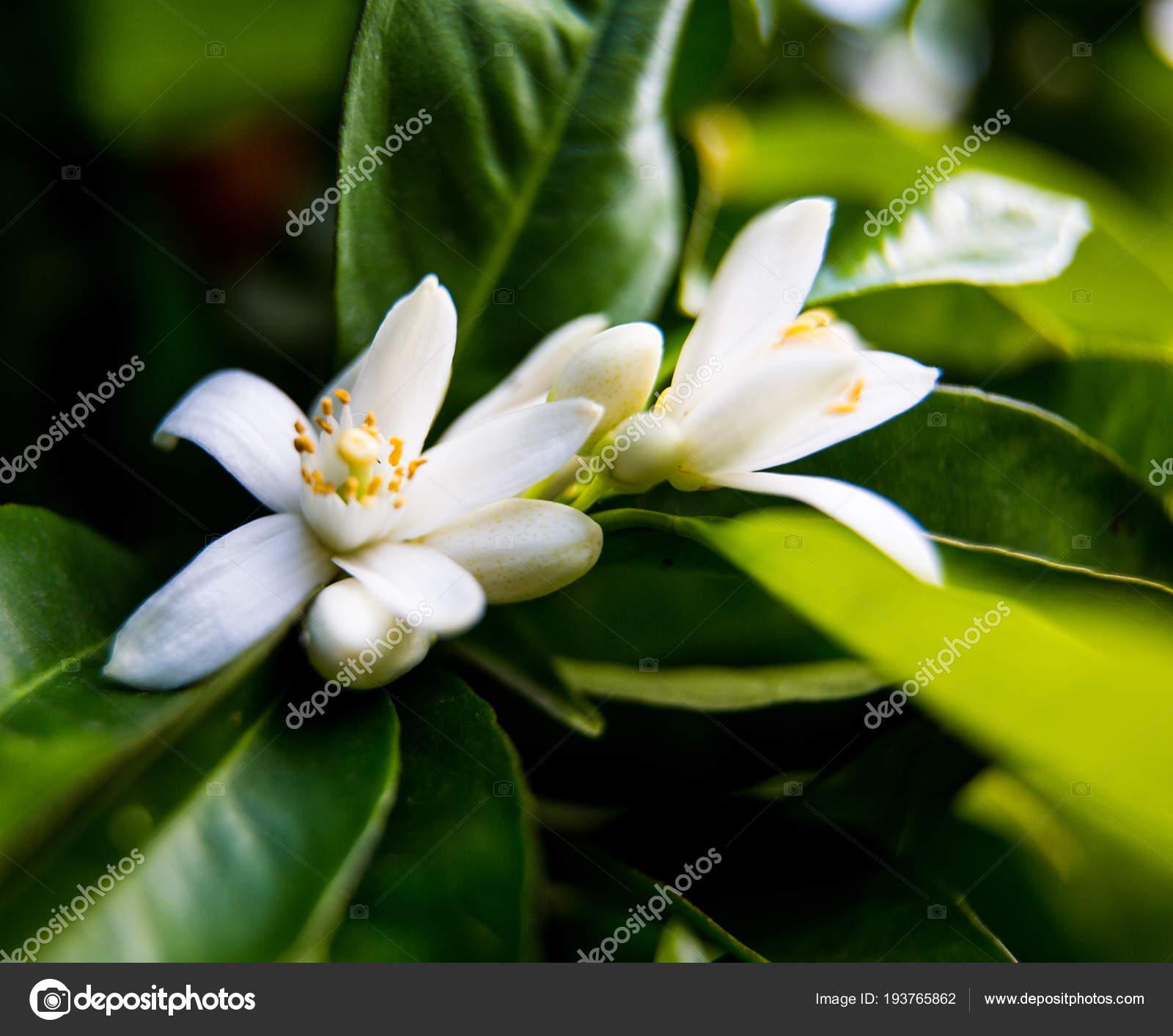 фото цветок нероли