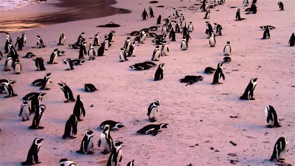 Penguins at Boulders Beach in South Africa at Sunset