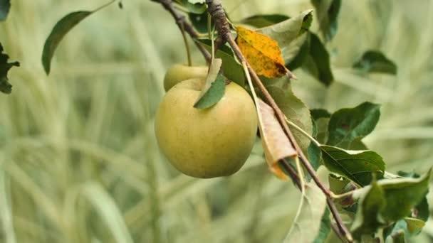 Közelkép egy nő szedés érett alma az almafa