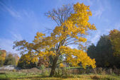Vibrant yellow tree and fall foliage with sky in background,