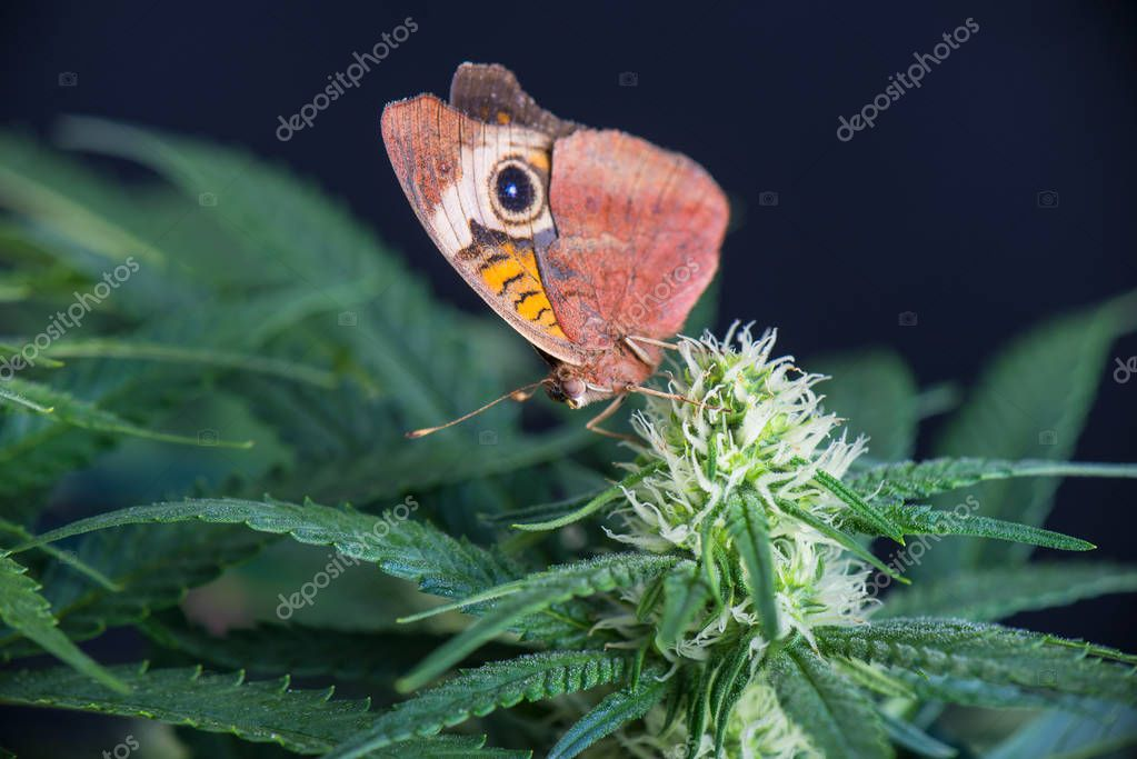 Cannabis flower and butterfly - Blooming Marijuana plant with ea