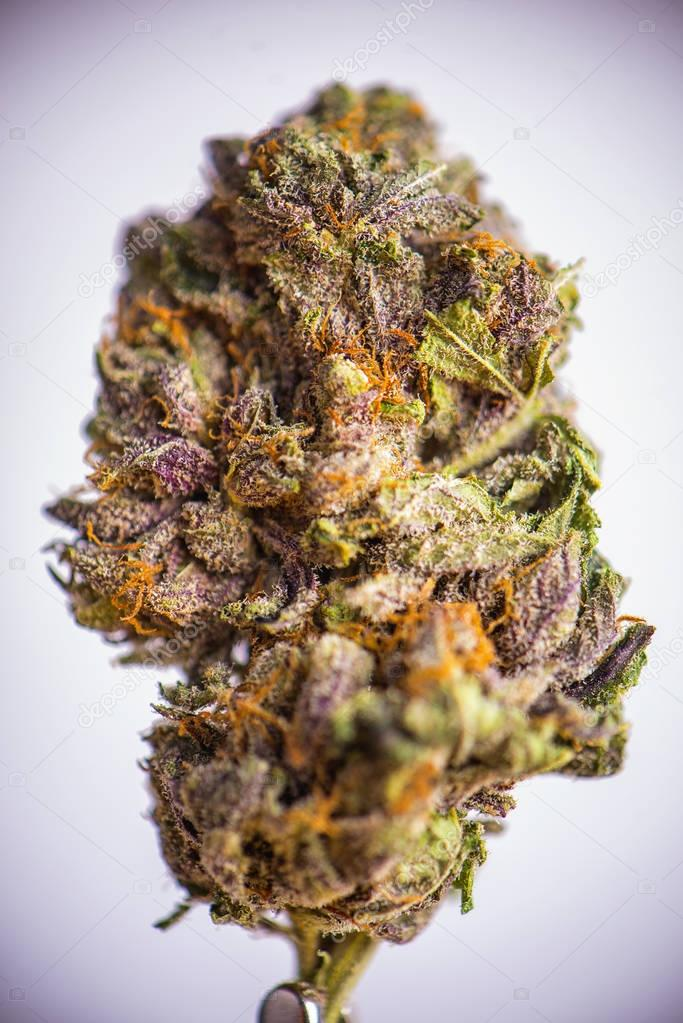 Detail of dried cannabis flower (grandaddy purple strain) isolat