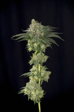 Cannabis stalk (mangolope strain) before harvest parcially trimm