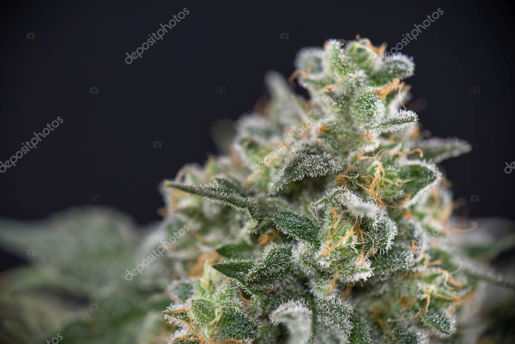Detail of cannabis cola (mangolope strain) later flower isolated