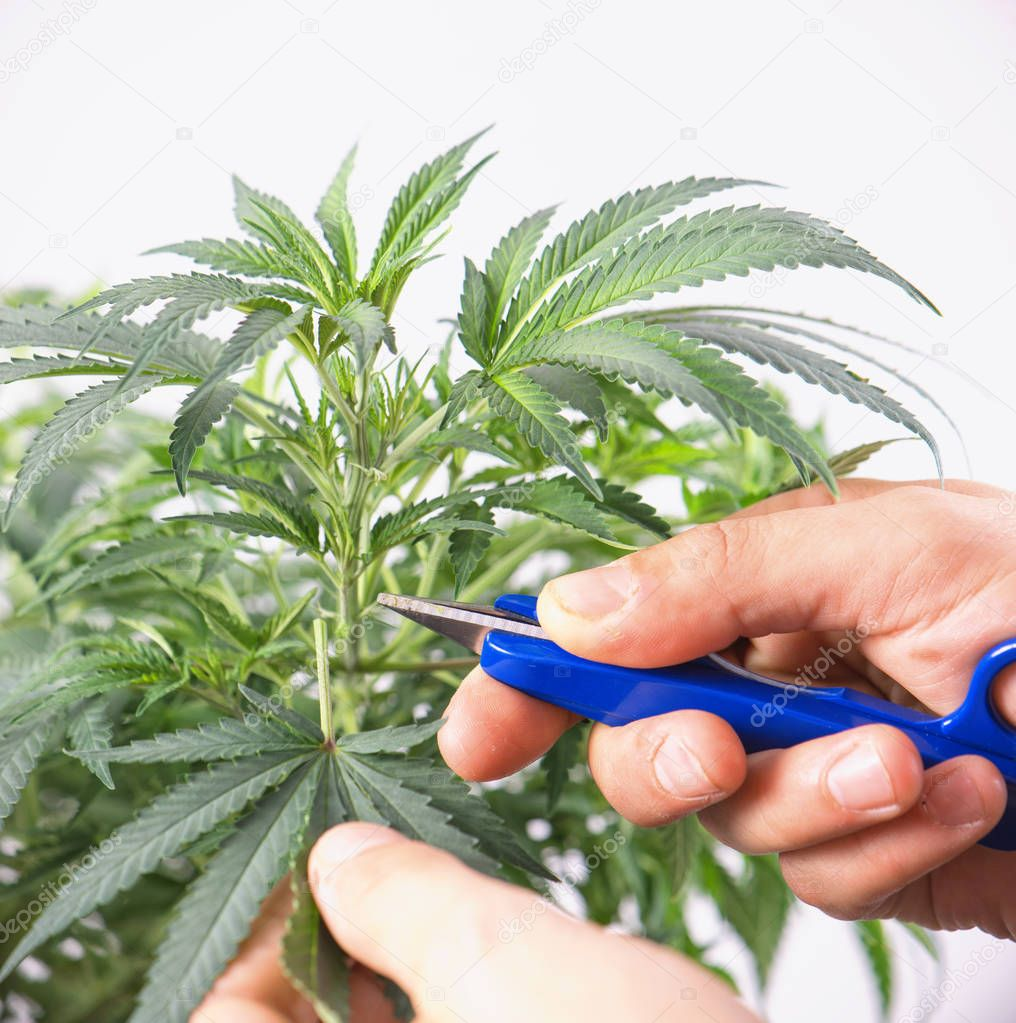 Cannabis plant with scissors trimming a leaf - medical marijuana