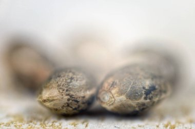 Marijuana seeds over white background - cannabis growing concept