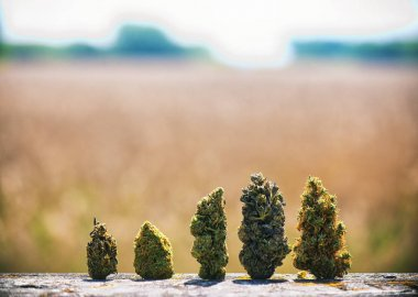 Assorted dried cannabis buds in a line over natural landscape -