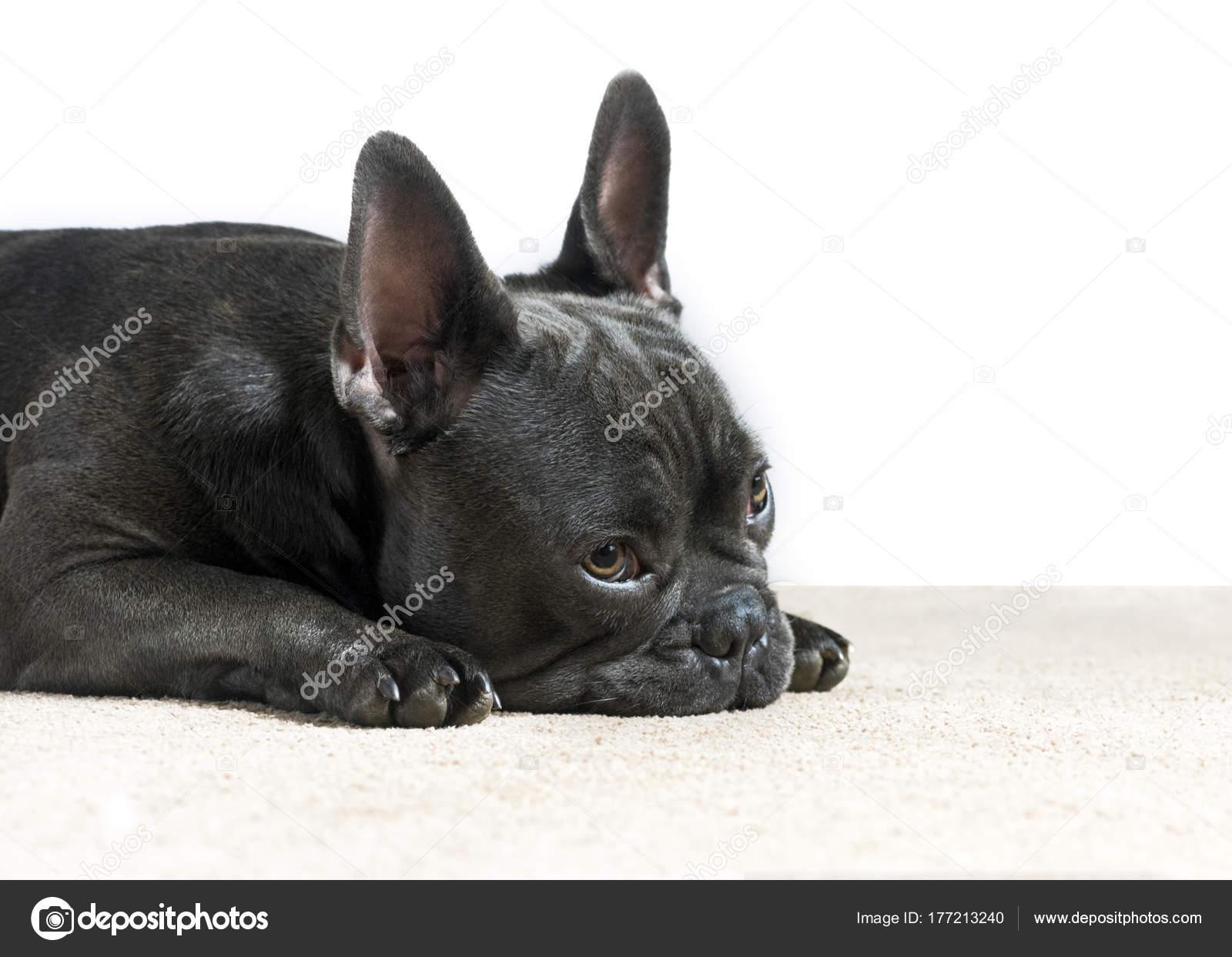 Bulldog Francés Azul Esperando Mirando Con Ojos Tristes Sobre Fondo