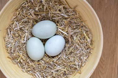 three of  blue eggs in a nest of hay that are laid by theses breeds Legbar, Ameraucana,  Araucana and Easter chickens, over view to accommodate copy space and text overlay