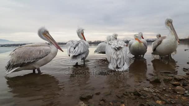 Pelikánů na jezero Kerkini