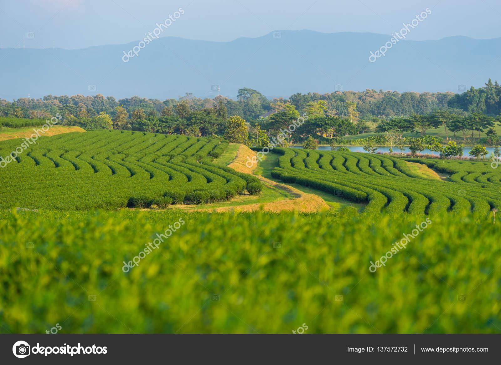 Fattoria di terrazze di tè di hill, Chiang Rai — Foto Stock ...
