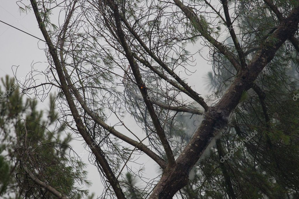 Smoldering tree from downed electric lines