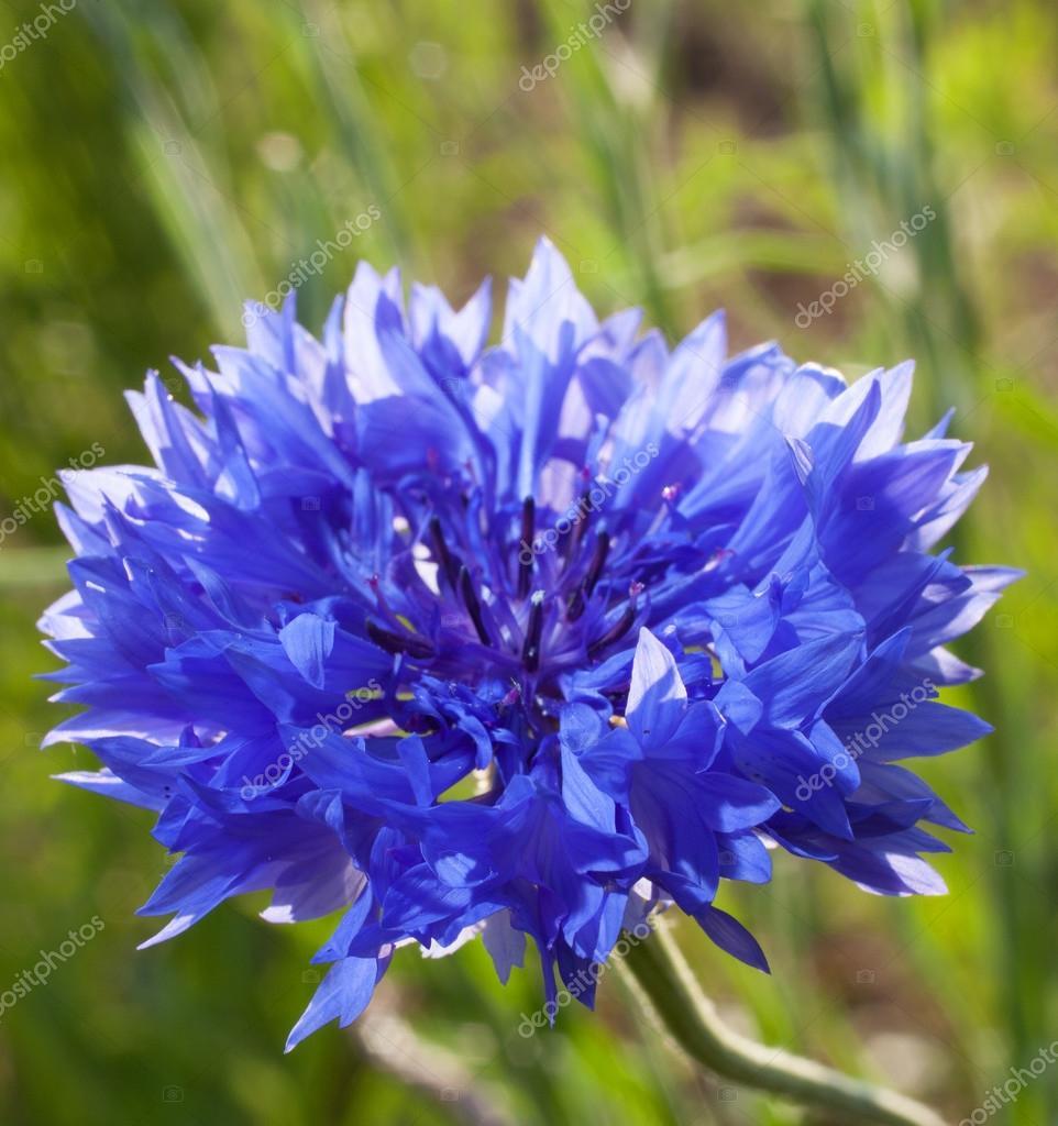 Blue Dawn Bloom Stock Photo Gsagi 128052748