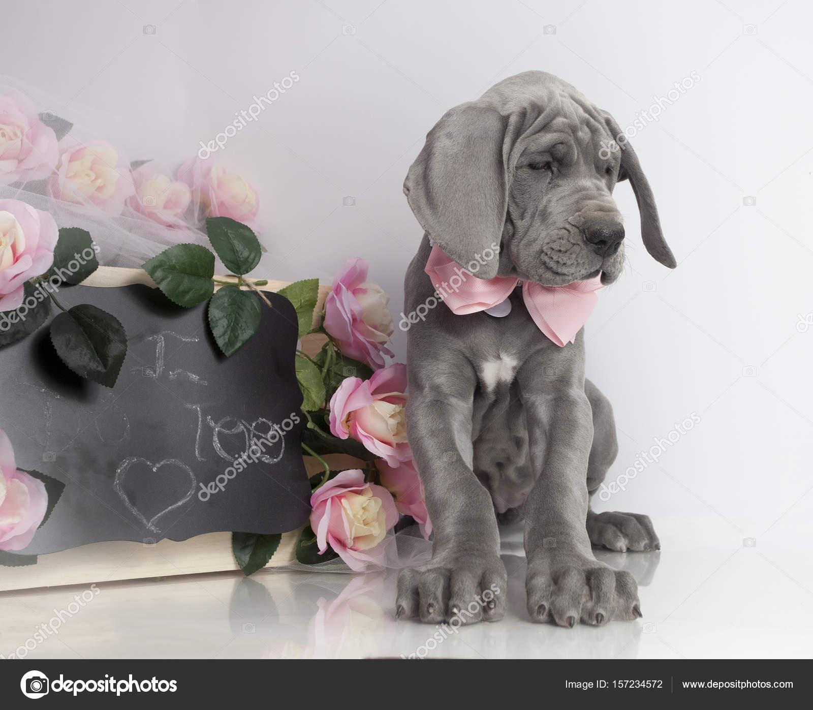 Great Dane Puppy Purebred Stock Photo C Gsagi 157234572