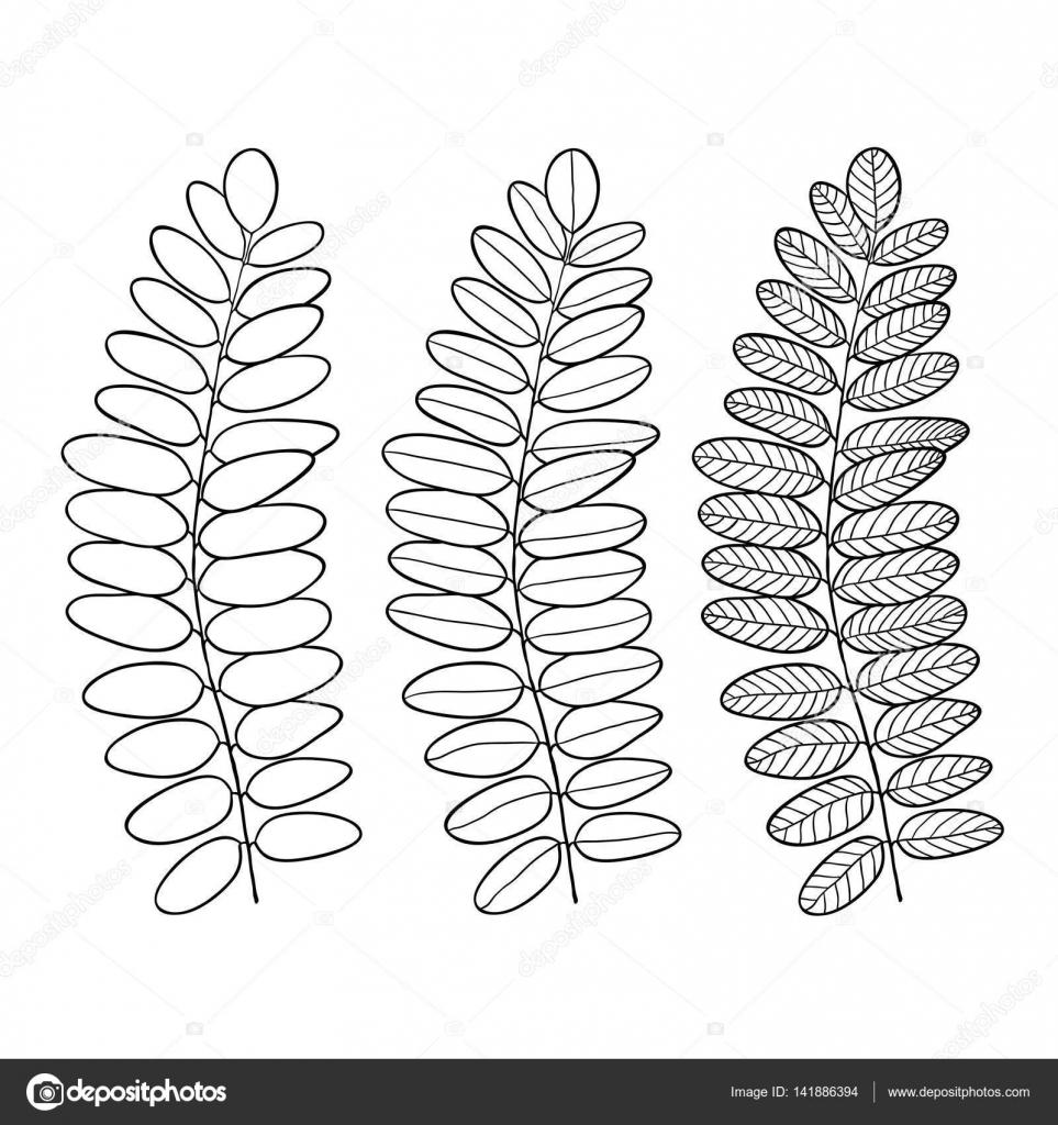 au trait acacia feuilles isolée illustration vectorielle pour